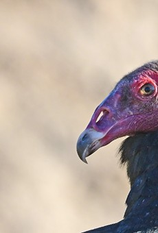 Swarms of vultures attack Central Florida neighborhood that doesn't believe in omens