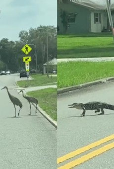 Watch a squad of cranes chase off a baby alligator in St. Cloud