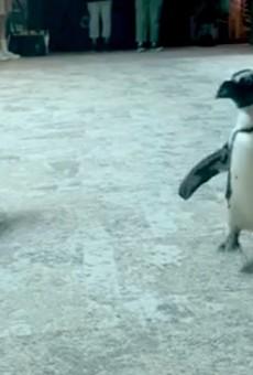 Seven endangered penguins died suddenly at the Florida Aquarium.