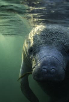 Conservation groups plan to file lawsuit against federal government over manatee deaths