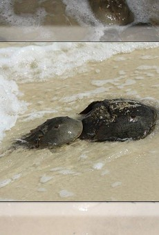 Horseshoe crab mating season is here, and the FWC wants your photos