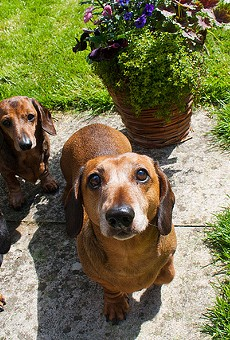 These are not the wiener dogs up for adoption, but wiener dogs nonetheless.