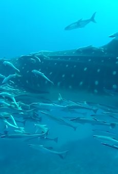 Florida divers films rare encounter with massive whale shark