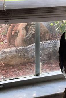 Very good boy barks at Florida gator