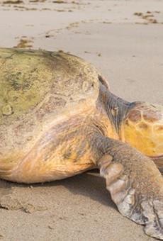 SeaWorld Orlando releases loggerhead on 'World Turtle Day'