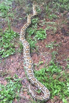 8-foot Burmese python found in Orlando after hitching a ride in couple's boat