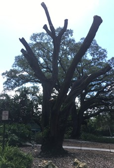 One of Enzian Theater's iconic Southern live oak trees has died