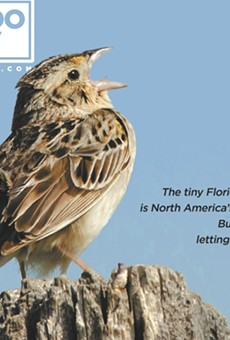 The fight to save North America's most endangered bird, the Florida grasshopper sparrow