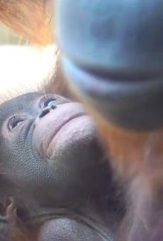 Critically endangered orangutan born at Busch Gardens Tampa (2)