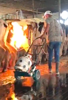 Undercover video shows Florida dairy farm workers using blowtorches on cows
