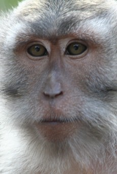 Florida officials are now seriously considering getting rid of the invasive herpes monkeys