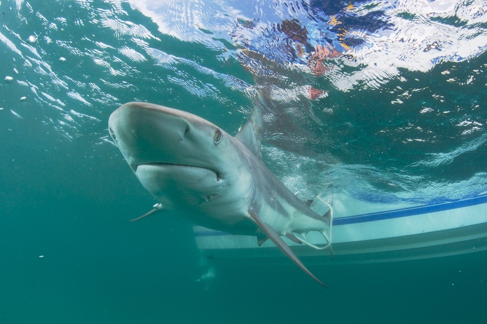 Video Shows Thousands Of Blacktip Sharks Migrating Off Coast
