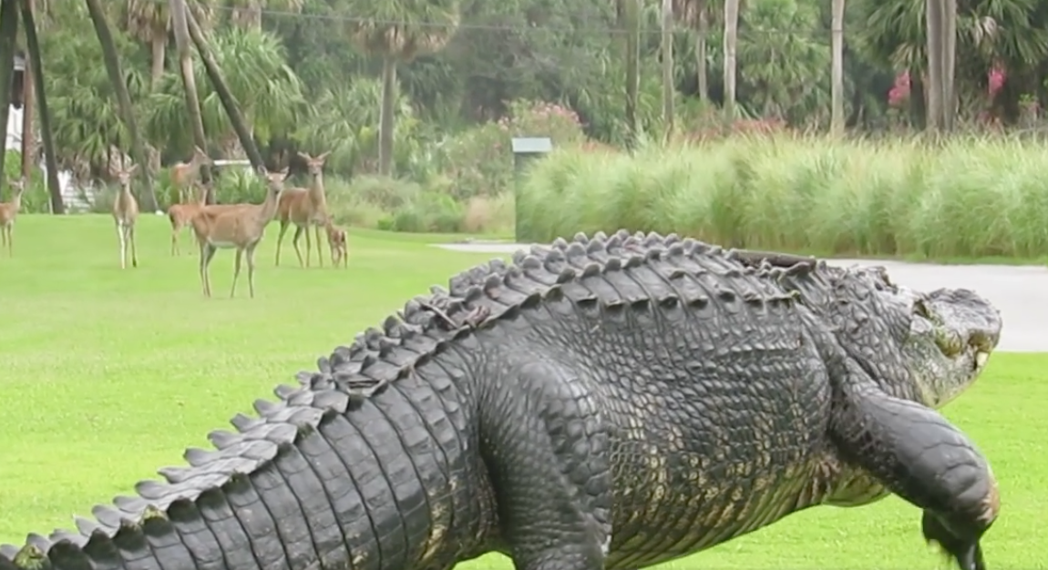 Herd Of Deer Allow Massive Gator To Play Through At Florida Golf Course Blogs