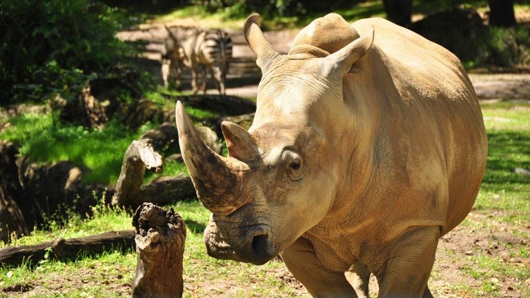 Disney Will Allow Guests To Touch A Rhino At Animal Kingdom Blogs