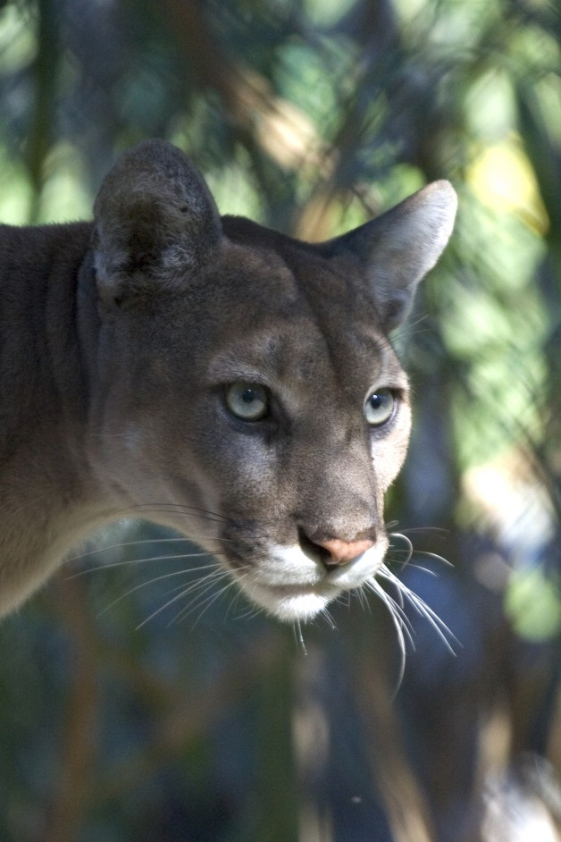 975889824fa Florida s panther problems get a writeup in the New Yorker
