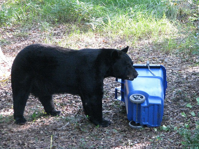 A test of a bear-proof trashcan held by the FWC. - PHOTO VIA FLICKR