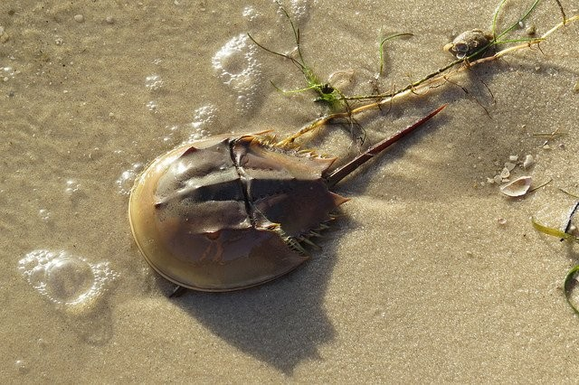 According to the FWC, only one species of horseshoe crab is found in North America, the Limulus polyphemus. - PHOTO VIA FWC/TWITTER