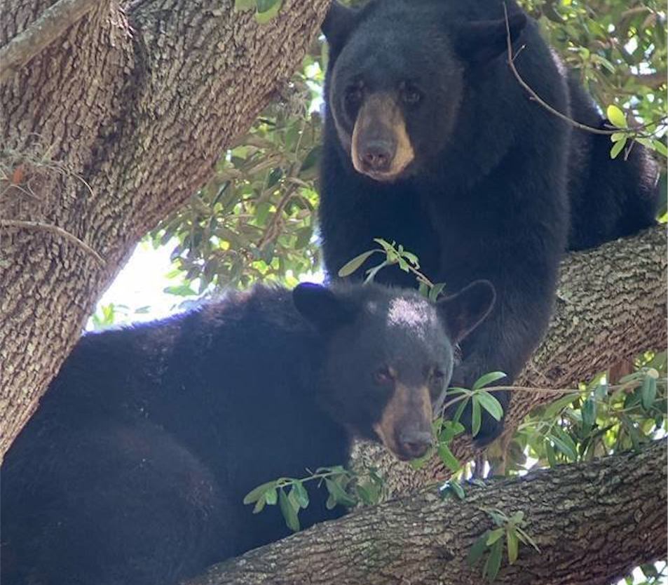 Two black bears are just chilling on a tree outside an Orlando school