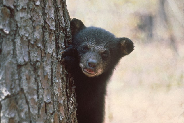 This is not the bear spotted in Orlando, just a cute cub. - PHOTO BY FLORIDA FISH AND WILDLIFE VIA FLICKR