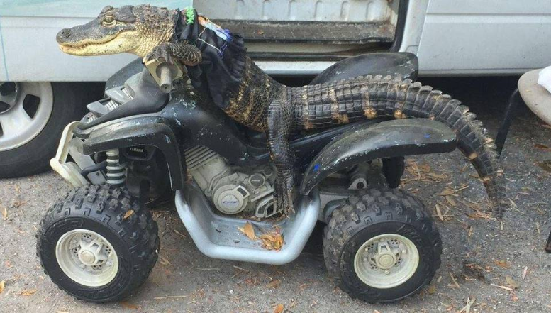 Image result for gator on atv