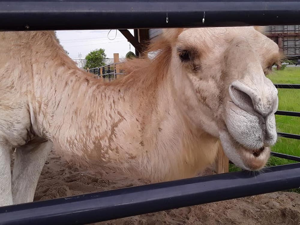 Authorities: Truck stop camel sits on woman who then bites animal's testicles