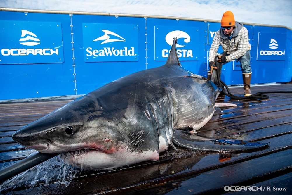 Two Mive Great Whites Pinged Off