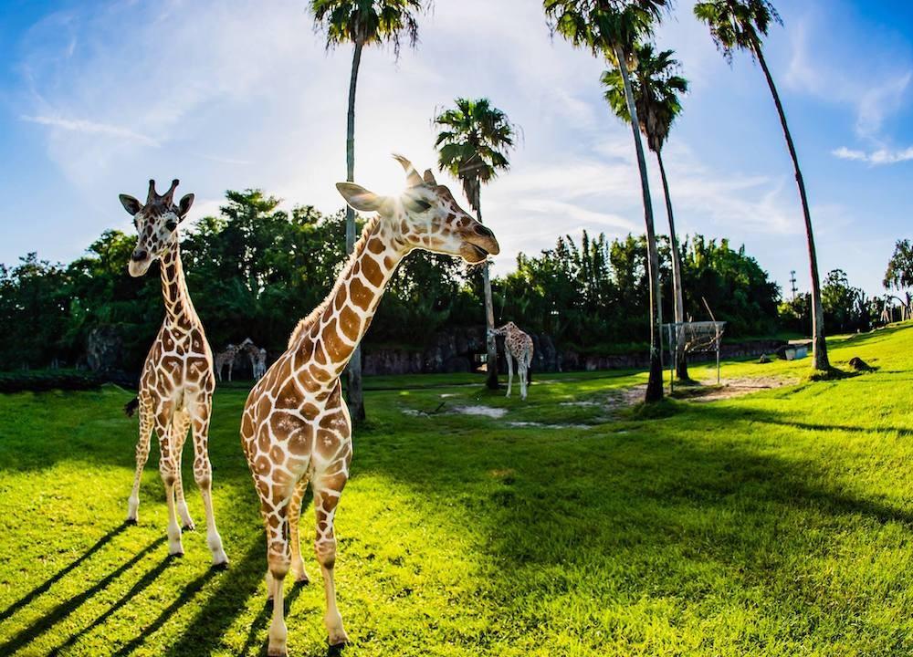 Busch Gardens Tampa Bay Opens Socially Distanced Version Of Their Serengeti Safari Tour Blogs