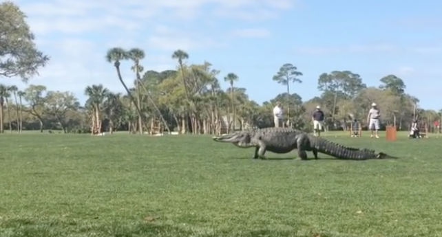 A Reminder That The Biggest Gators Will Always Be Found On Golf Courses Blogs