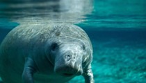 35 Florida manatees died due to cold weather last month