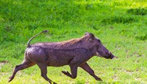 Wildlife officials captured an African warthog wandering through a Florida neighborhood