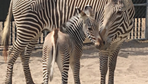 Disney announces the birth of two zebras at Animal Kingdom