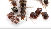 Florida's most metal ant collects the skulls of dismembered enemies to decorate nest