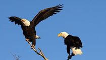 Eagles fail federal crash test