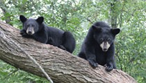 320 Florida bears will certainly be shot next month