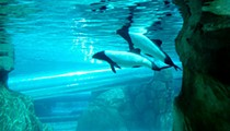 SeaWorld will no longer keep Commerson's dolphins in captivity