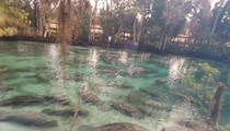 Watch this video of hundreds of manatees lounging at Three Sisters Springs