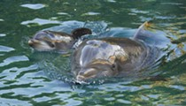 SeaWorld's Discovery Cove introduces newborn dolphin