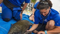 Mother manatee taken to SeaWorld care facilities after being struck by motorboat