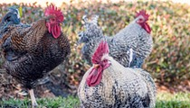 'Urban chicken' program receives initial approval needed for permanent roost in Orlando