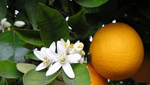 Citrus production continues to decline in Florida