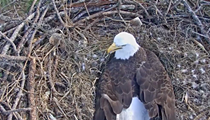 This Florida bald eagle's eggs will hatch any minute now