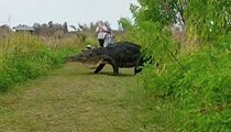 Godzilla-sized Florida gator is not interested in humans