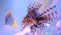 The best way to fight the incursion of lionfish? Fry them up