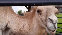 Florida woman escapes 600-pound camel in Louisiana by biting its testicles
