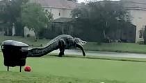 Gigantic alligator takes a leisurely tour around Florida golf course