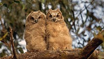 You are cordially invited to the annual Baby Owl Shower at Maitland's Audubon Center in May