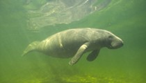 Florida passes record amount of yearly manatee deaths in first six months of 2021