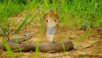 Another pet cobra went missing in Central Florida last night