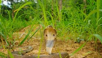 Farewell, Ocala cobra