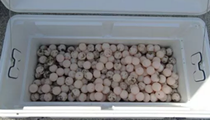 Two Florida men arrested for possession of 500 sea turtle eggs